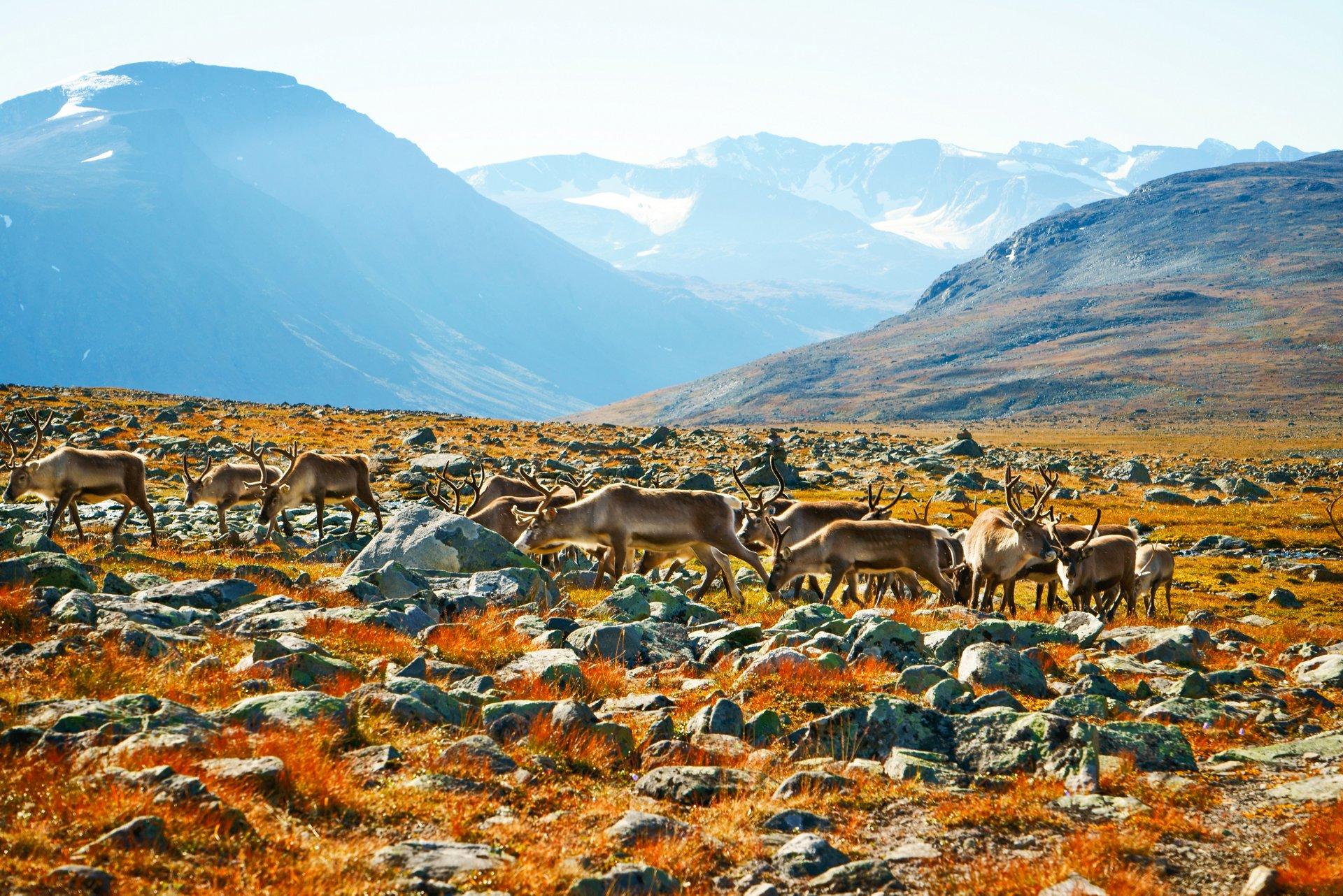 The reindeer shepherd