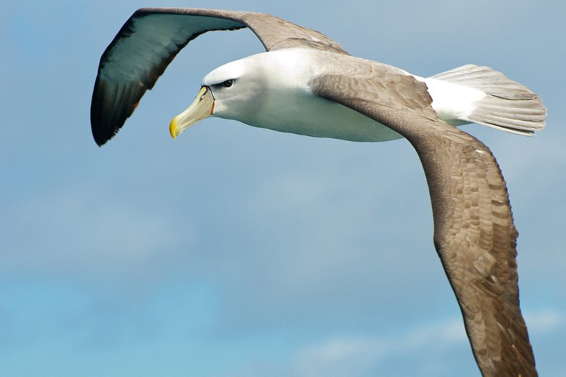 The albatross is inspiring next generation of aircraft wings