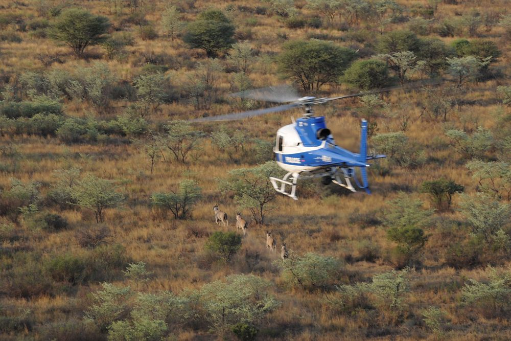 The Botswana Police Service employ one of four H125s for anti-poaching missions, in addition to their regular law enforcement duties.