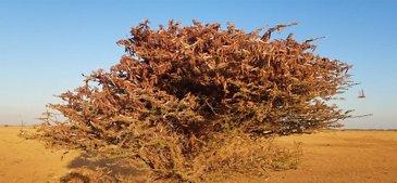 Desert locusts in Ethiopia